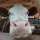Stallen komen TERRALAVA® AcidBlock toe: waarheid als een koe!